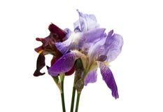 isolerad iris Royaltyfria Foton