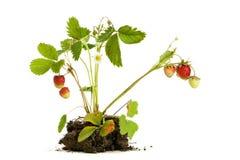 Isolerad jordgubbeväxt Arkivfoto