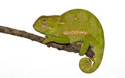 isolerad kameleont Royaltyfri Bild