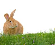 isolerad kanin Royaltyfri Bild