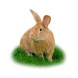 isolerad kanin Fotografering för Bildbyråer