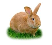 isolerad kanin Royaltyfria Bilder