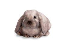isolerad kaninwhite Royaltyfria Bilder