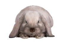isolerad kaninwhite Royaltyfri Foto