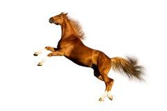 isolerad kastanjebrun häst royaltyfri bild
