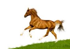 isolerad kastanjebrun häst Fotografering för Bildbyråer