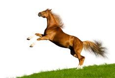 isolerad kastanjebrun häst Arkivbild