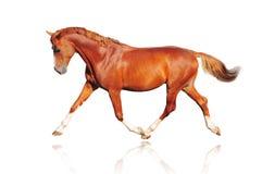 isolerad kastanjebrun häst Arkivfoto