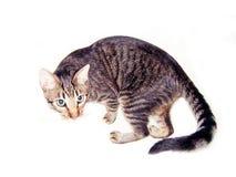 isolerad katt Royaltyfri Fotografi