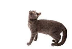 Isolerad katt Grey British för kort hår Arkivfoton