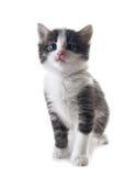 isolerad kattunge Royaltyfri Foto