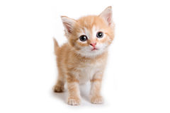 isolerad kattungewhite Royaltyfria Foton