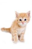 isolerad kattungewhite Royaltyfri Bild