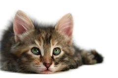 isolerad kattungewhite Royaltyfri Fotografi