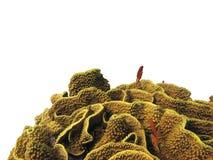 isolerad korallhard Arkivfoton