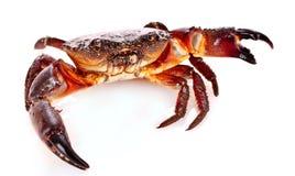 isolerad krabba Arkivbild