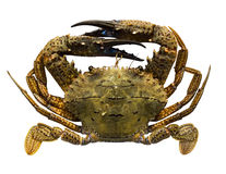 Isolerad krabba Royaltyfria Bilder