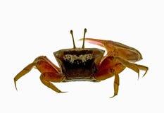 Isolerad krabba royaltyfri bild