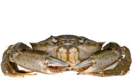 isolerad krabba Royaltyfri Fotografi