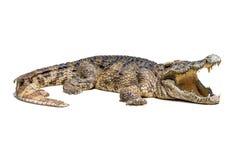 Isolerad krokodil Fotografering för Bildbyråer