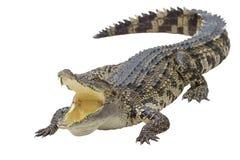 isolerad krokodil Arkivfoton