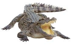 isolerad krokodil Royaltyfria Foton