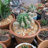 isolerad krukawhite för bakgrund kaktus Arkivbild