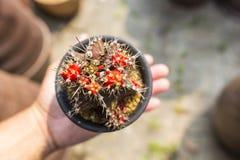 isolerad krukawhite för bakgrund kaktus Kaktus i hand Gymnocalycium Royaltyfri Foto