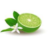 Isolerad kulör halva av saftig grön limefrukt med den vita blomman, det gröna bladet och skugga på vit bakgrund realistiskt Arkivfoton