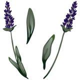 Isolerad lavendelblomma i en vektorstil Royaltyfria Bilder