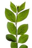 isolerad leaf Royaltyfri Bild