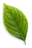 isolerad leaf Arkivfoton