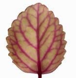 isolerad leaf Royaltyfria Foton