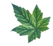 isolerad leaf Royaltyfri Fotografi