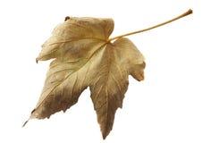 isolerad leaf Arkivfoto