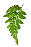 isolerad leaf för fern green royaltyfri fotografi