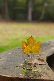 isolerad leaflönn Arkivbild