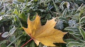 isolerad leaflönn Royaltyfria Bilder