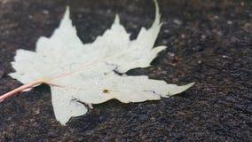 isolerad leaflönn Royaltyfri Fotografi