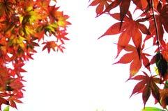 isolerad leaflönn Royaltyfria Foton