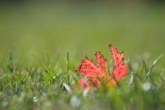 isolerad leaflönn Fotografering för Bildbyråer