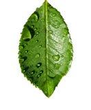 isolerad leafvattenwhite Fotografering för Bildbyråer