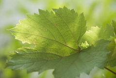 isolerad leafvinewhite Arkivfoto