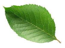isolerad leafwhite för bakgrund Cherry arkivfoton