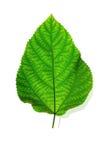 isolerad leafwhite för bakgrund green Royaltyfri Bild