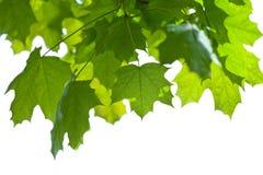 isolerad leaveslönn Arkivbild