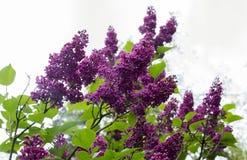 Isolerad lila Arkivfoton