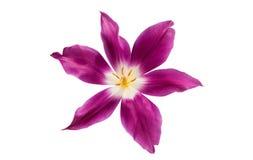 Isolerad lila tulpan arkivfoton