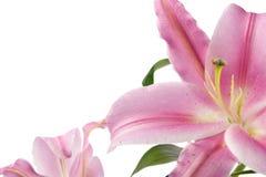 isolerad lilja Royaltyfri Bild