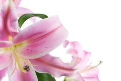 isolerad lilja Arkivfoton
